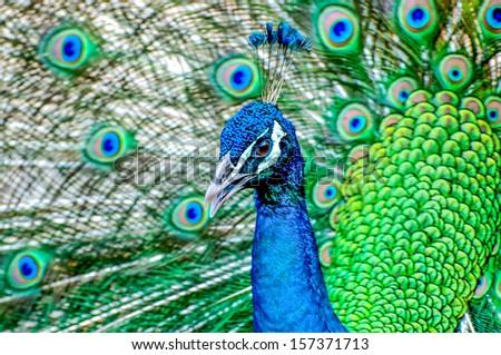 Beautiful peacock - stock photo