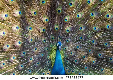 beautiful peacock - stock photo