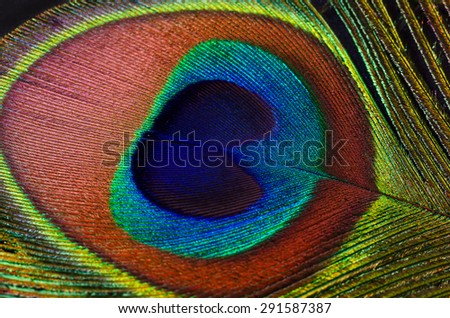 Beautiful peacock feather closeup on a black background - stock photo