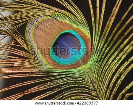 Beautiful peacock feather on a black background. - stock photo