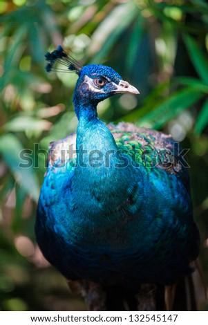 Beautiful peacock walking in a garden - stock photo
