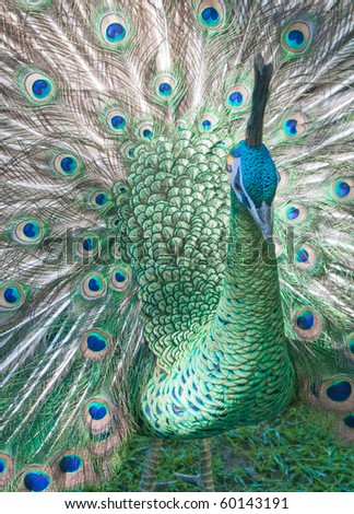 Beautiful peacock with tail fully open - stock photo