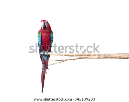Beautiful Pet Parrot isolated on white background. - stock photo