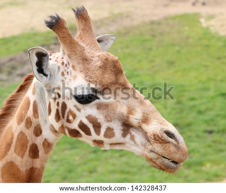 Beautiful photo of a giraffe - stock photo