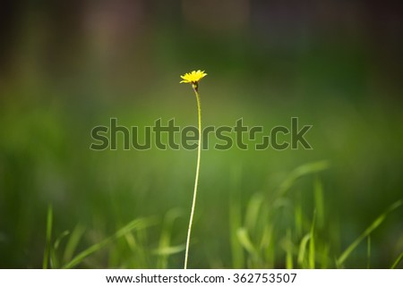 Beautiful photo of a wild dandelion in the forest. - stock photo