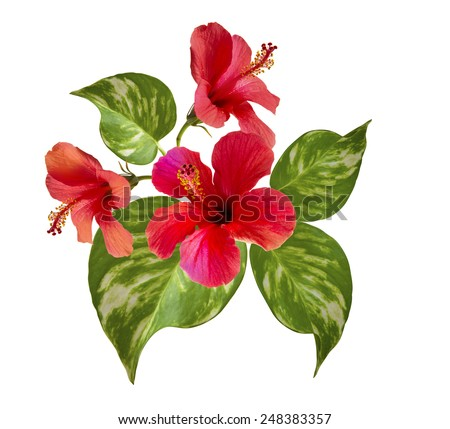 beautiful photo of hibiscus flowers and tropical leaves. Single elements isolated on white. Floral motifs.   - stock photo