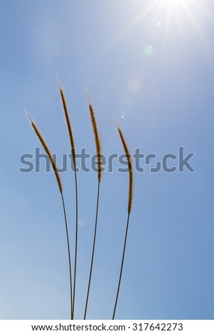 Beautiful photo reed against the blue sky.Israel - stock photo