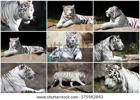 Beautiful photos of  White Tiger in Zoo - stock photo