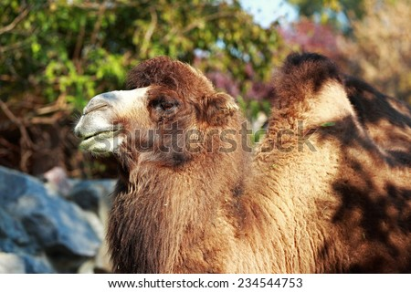 Beautiful picture of a camel on a green background of trees - stock photo