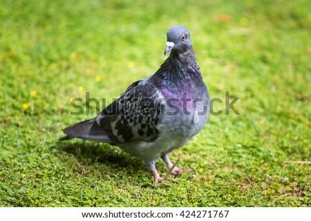 Beautiful pigeon bird standing on grass - stock photo
