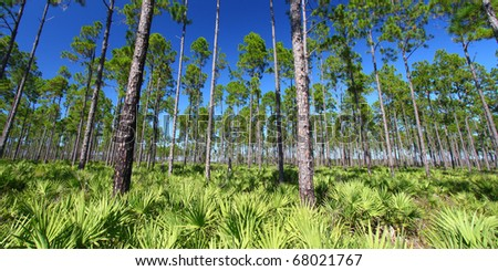 Beautiful pine flatwoods of Florida on a clear day - stock photo