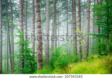 Beautiful pine tree forest, abstract natural background, misty woods in the morning, amazing nature of Italy - stock photo