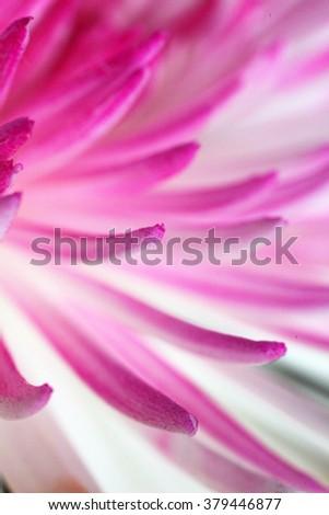 Beautiful pink and orange Chrysanthemum flowers on a black background - stock photo