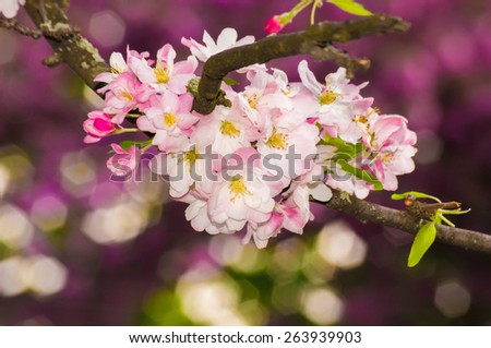 Beautiful pink apple blossom flower, first blossom, blooming nature. Soft focus. - stock photo