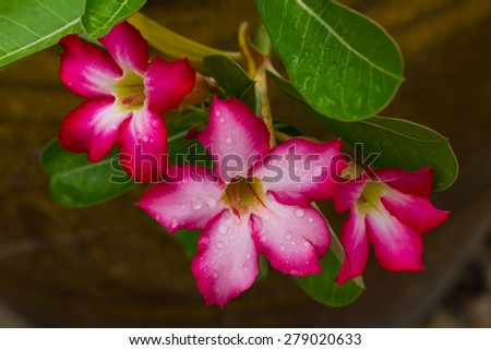 Beautiful pink azalea flowers with dew on the petals and leaves background jar. - stock photo