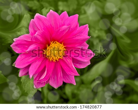 Beautiful pink blooming dahlia with a green background - stock photo
