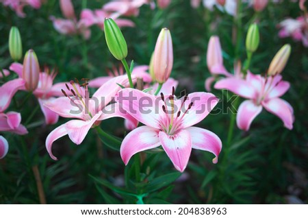 Beautiful pink blooming flowers in nature. - stock photo