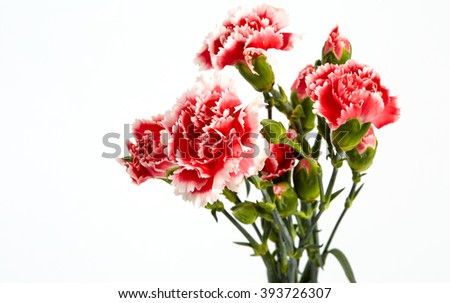 Beautiful pink carnations flower isolated on the white background. - stock photo