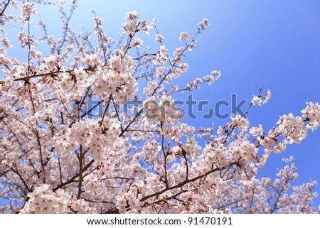 Beautiful pink cherry blossom (sakura) shot in japan - stock photo