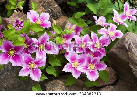 Beautiful pink clematis close-up outdoors. Clematis cultivar 'Piilu' - stock photo