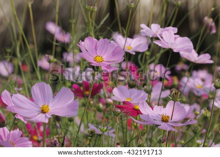 Beautiful Pink Cosmos Flower Field in The Garden - stock photo
