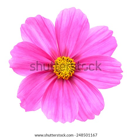 Beautiful pink Cosmos Flower isolated on white  - stock photo