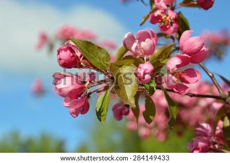Beautiful pink crabapple tree in full bloom - springtime blossoming wild apple tree - selective focus - family of malus purpurea - stock photo