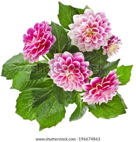 Beautiful Pink Dahlia Flowers bouquet Isolated on White Background - stock photo