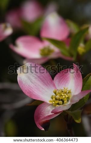 beautiful pink dogwood blossoms  - stock photo