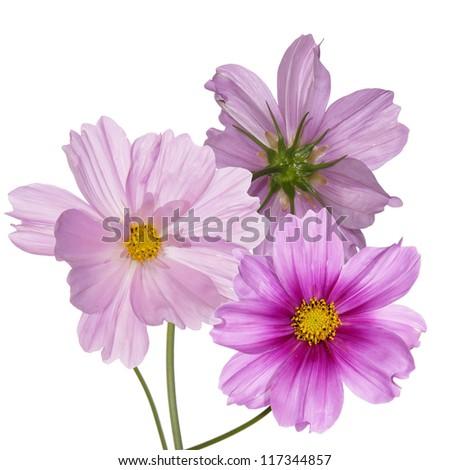 Beautiful pink flowers. Flower card - stock photo