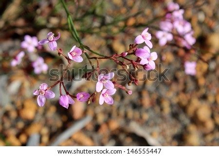 Beautiful  pink flowers of  rare west Australian  wildflower Boronia ovata species blooming in mid winter in jarrah forest national park where is is a protected species. - stock photo