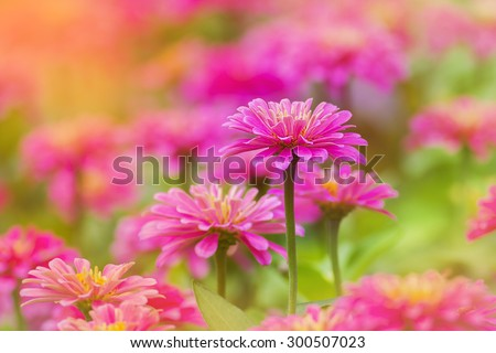 beautiful pink flowers on the outdoor park, Gerbera flower - stock photo