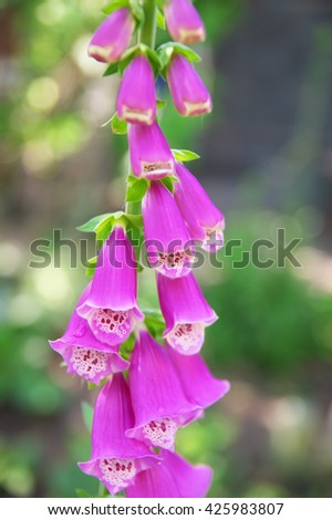 Beautiful pink foxglove blooming. Flower in the garden - stock photo
