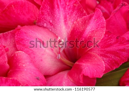 beautiful pink gladiolus, close up - stock photo
