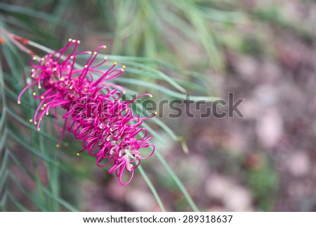 Beautiful pink Grevillea flowers surrounded by green leaves - stock photo