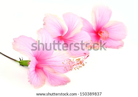 Beautiful Pink Hibiscus flowers on white background - stock photo