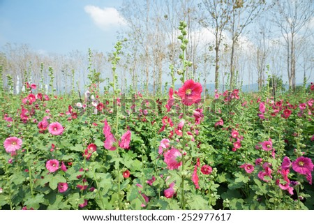 beautiful pink hollyhock flowers blossom - stock photo