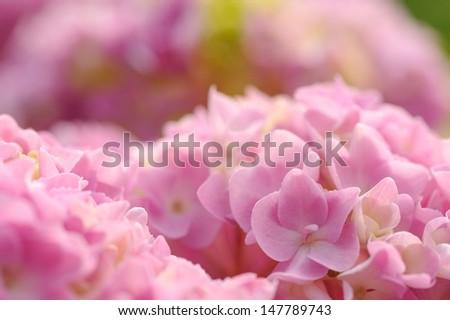 Beautiful Pink Hydrangea Flowers Close-Up - stock photo