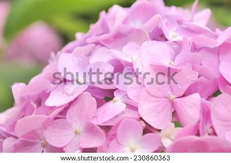 Beautiful Pink Hydrangea Flowers with Dew Drops - stock photo