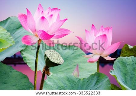 beautiful pink lotus flower in blooming at sunset - stock photo