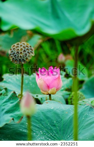 Beautiful pink lotus flower, seeds and leaves in pond. Lotus is also a symbol of Buddhism. - stock photo