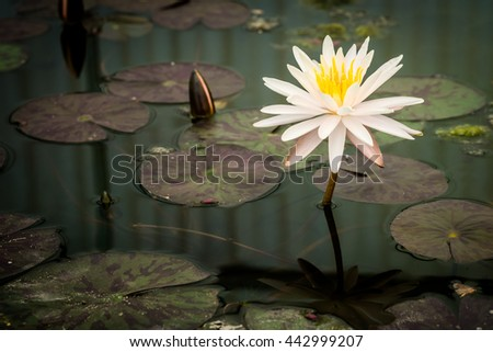 Beautiful Pink Lotus, water lily plant  in a pond - stock photo