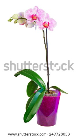 Beautiful Pink Orchid Flower Isolated on the White Background - stock photo