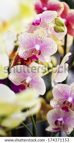 Beautiful pink orchid in store. Blurred foreground white orchid - stock photo