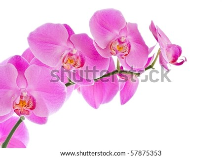 Beautiful pink Orchid, isolated on a white background. - stock photo