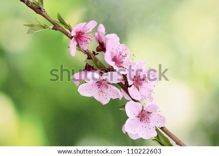 beautiful pink peach blossom on green background - stock photo