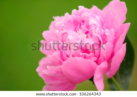 Beautiful Pink Peony Flower - stock photo