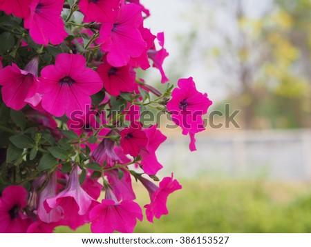 Beautiful Pink Petunia Flowers - stock photo
