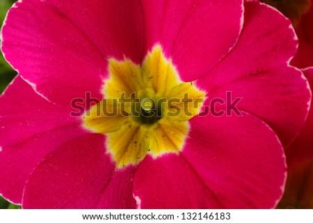 Beautiful pink primula, close up - stock photo
