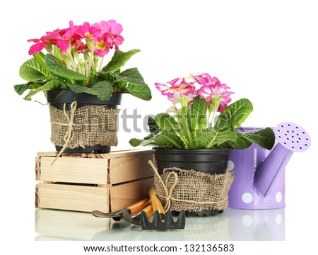 Beautiful pink primula in flowerpots and gardening tools, isolated on white - stock photo